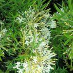 Grevillea curviloba Flat Jack - Hardy Australian Native Plant