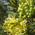 Grevillea Lemon Supreme - Australian Native Plant