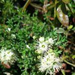 Kunzea Badga Carpet - Australian Native Plant