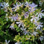 Lechenaultia floribunda - Australian Native Plant
