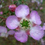 Leptospermum Julie Ann - Australian Native Plant