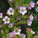 Leptospermum Lavender Queen - Australian Native Plant