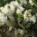 Melaeuca ericifolia - Hardy Australian Native Plant