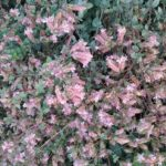 Origanum Summer Haze - Summer Flowering Perennial Plant
