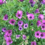 Osteospermum purple Hardy Perennial Plant
