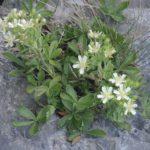 Potentilla caulescens - Perennial Plant