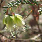 Homoranthus darwinioides - Australian Native Plant