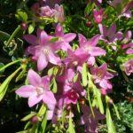 Crowea exalata - Long Flowering Australian Native Plant