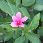 Hibiscus Tiny Tina - East to Grow