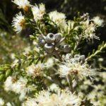 Melaleuca halmaturorum - Australian Native Plant
