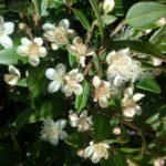 Austromyrtus dulcis - Australian Native Plant