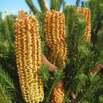 Banksia ericifolia dwarf - Australian Native Plant