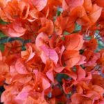 Bougainvillea Orange Glory