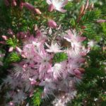 Calytrix tetragona pink - Small Australian Native Plant