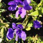 Dampiera linearis purple - Australian Native Plant