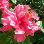 Hibiscus Island Empress