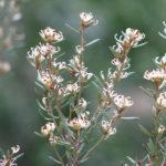 Grevillea australis - Australian Native Plant