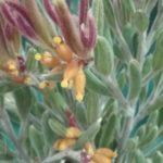 Grevillea fuscolutea -Rare and Vulnerable Australian Native Plant