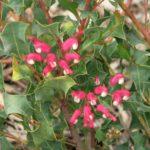 Grevillea insignus - Australian Native Plant