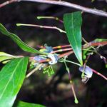 Grevillea shiressii - Australian Native Plant