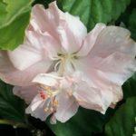 Hibiscus Enid Lewis