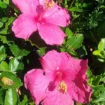 Hibiscus Hawaiian Skies
