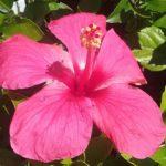 Hibiscus Rose Scott