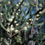 Hakea cygna - Australian Native Plant