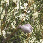 Hakea newbeyana - Hardy Australian Native Plant