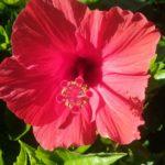 Hibiscus General Corteges