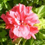 Hibiscus Mrs George Davis