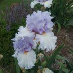 Tall Bearded Iris Blue Rising