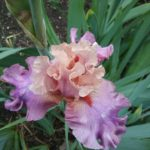 Tall Bearded Iris Dignity Dancer