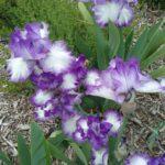 Tall Bearded iris Jessies Song