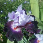 Tall Bearded Iris Honourable Lord