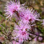 Kunzea parvifolia - Australian Native Plant
