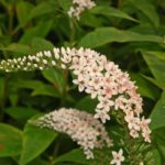 Lysimachia clethroides - Perennial Plant