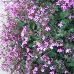 Pelargonium Ionidiflorum - Long Flowering Perennial Plant