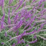 Salvia leucantha - Hardy Perennial Plant