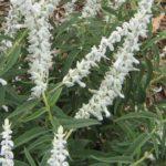 Salvia leucantha white - Hardy Perennial Plant