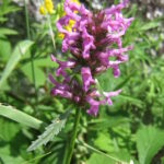 Stachys officinalis - Perennial Plant