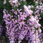 Thryptomene hyporhytis - Australian Native Plant