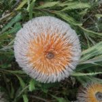 Banksia baueri - Cut Flower