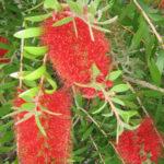 Callistemon citrinus - Hardy Australian Native Plant