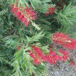 Callistemon Dawson River Weeper - Hardy Australian Native Plant