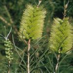 Callistemon pinifolius green - Hardy Australian Native Plant