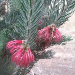 Calothamnus quadrifidus grey form - Hardy Australian Native Plant