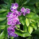 Duranta repens Geisha Girl - Perennial Plant