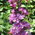 Buddleia Isle de France - Butterfly Bush
