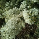 Grevillea vestita - Hardy Australian Native Plant